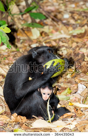 Celebes Crested Macaque clipart #8, Download drawings