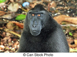 Celebes Crested Macaque clipart #12, Download drawings