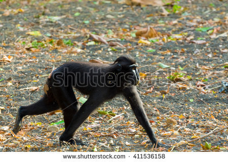 Celebes Crested Macaque clipart #7, Download drawings