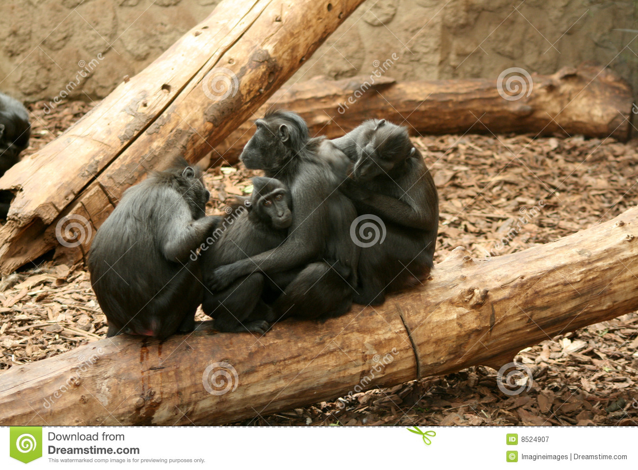 Crested Black Macaque clipart #9, Download drawings
