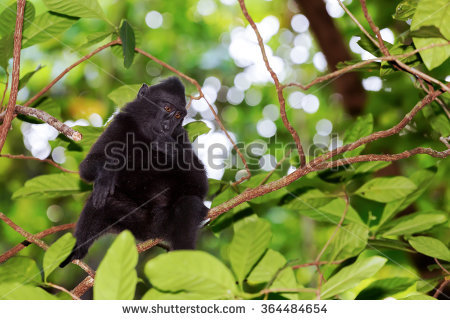 Celebes Crested Macaque clipart #10, Download drawings