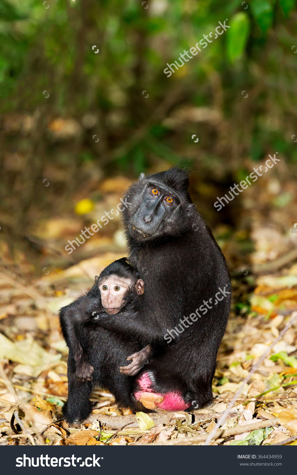 Celebes Crested Macaque clipart #5, Download drawings