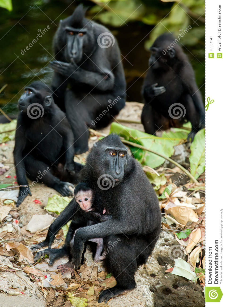 Celebes Crested Macaque clipart #18, Download drawings