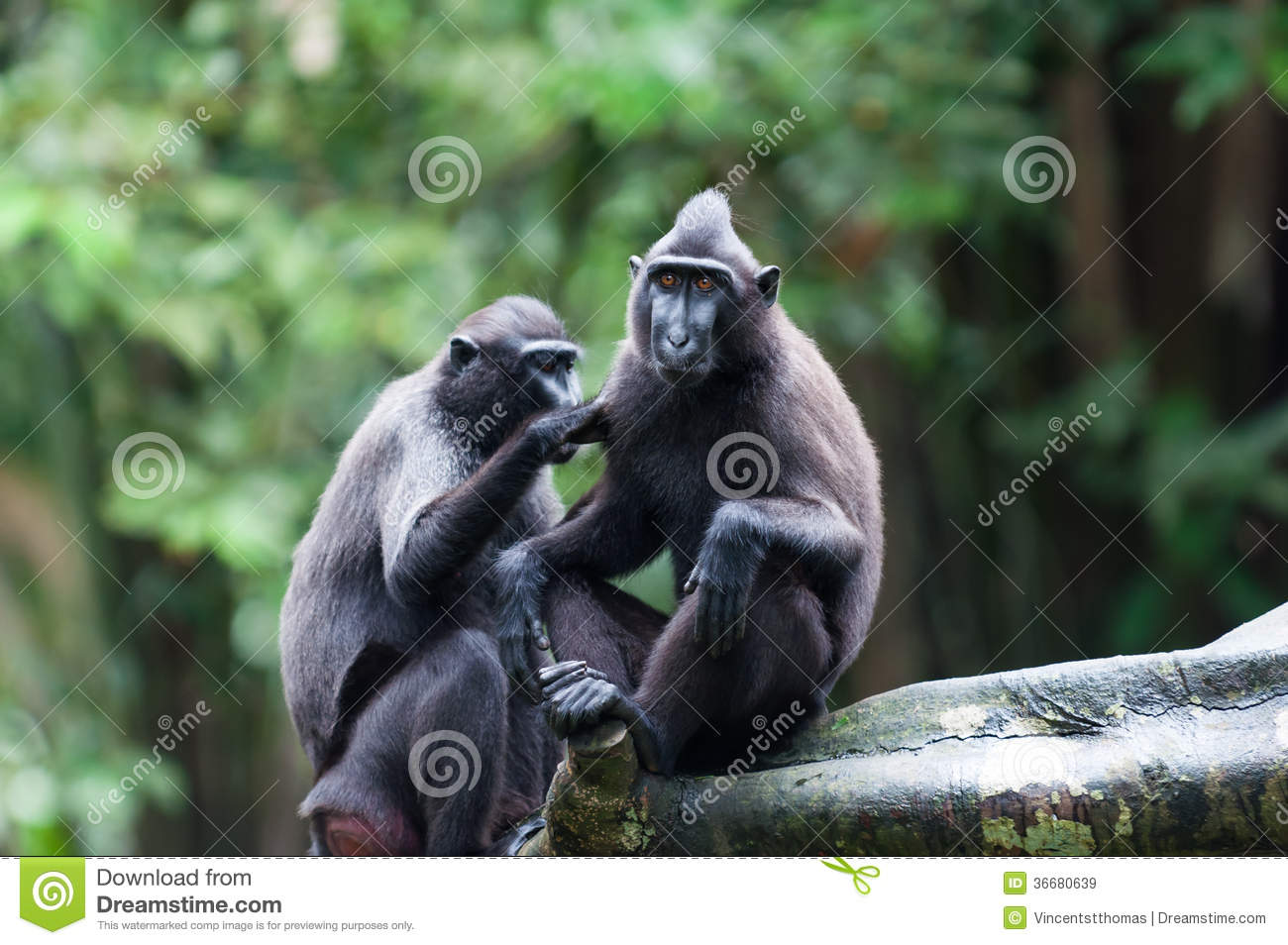 Celebes Crested Macaque clipart #14, Download drawings