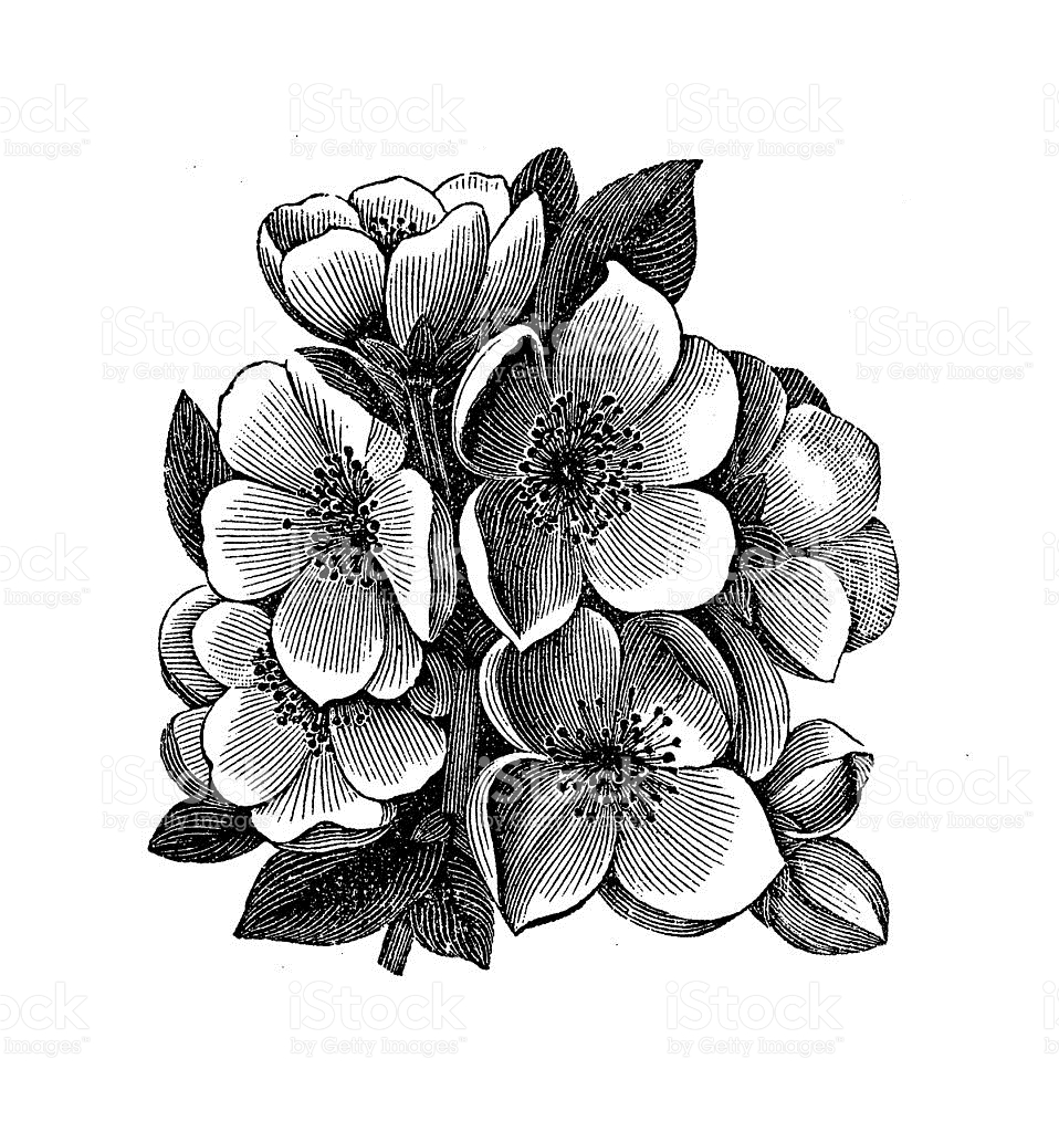 Chaenomeles Japonica clipart #12, Download drawings