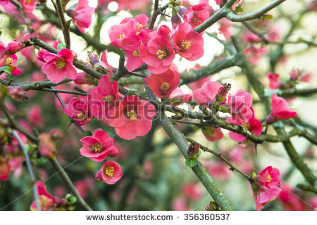 Chaenomeles Japonica clipart #11, Download drawings