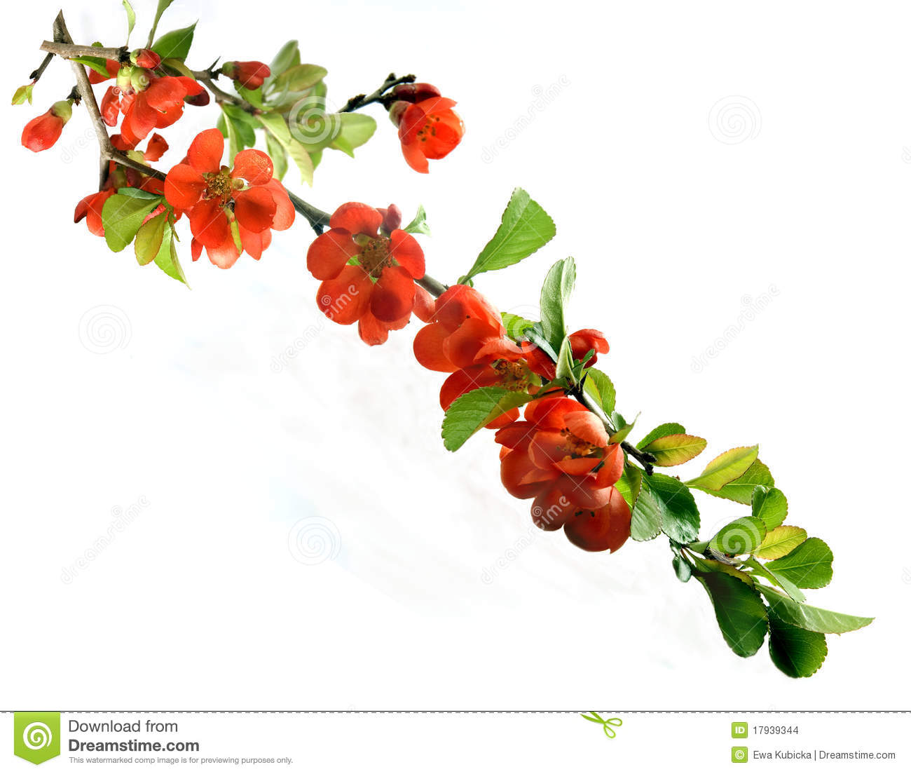 Chaenomeles Japonica clipart #5, Download drawings