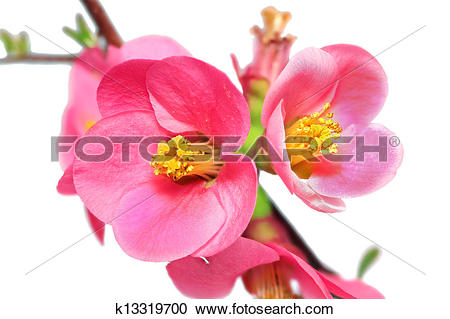 Chaenomeles Japonica clipart #19, Download drawings
