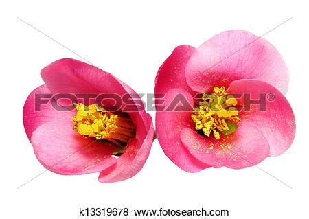 Chaenomeles Japonica clipart #17, Download drawings