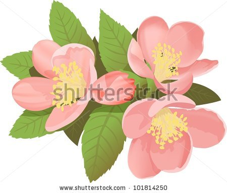 Chaenomeles Japonica clipart #3, Download drawings