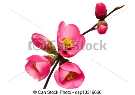 Chaenomeles Japonica clipart #1, Download drawings