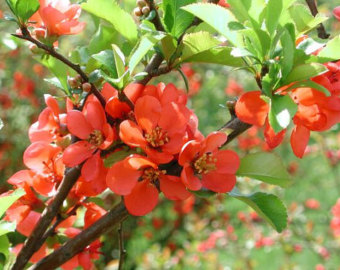 Chaenomeles Japonica coloring #12, Download drawings