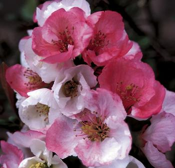 Chaenomeles Japonica coloring #9, Download drawings