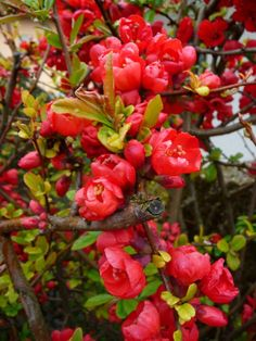 Chaenomeles Japonica coloring #19, Download drawings