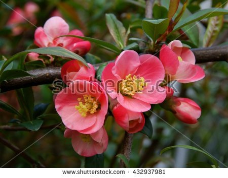 Chaenomeles Japonica coloring #2, Download drawings