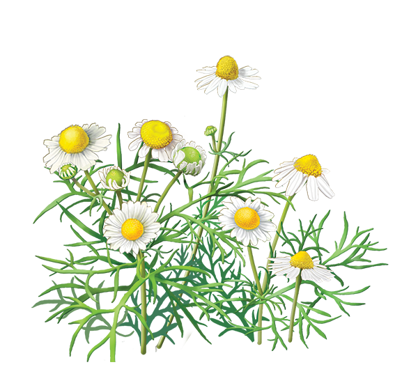 Chamomile clipart #18, Download drawings