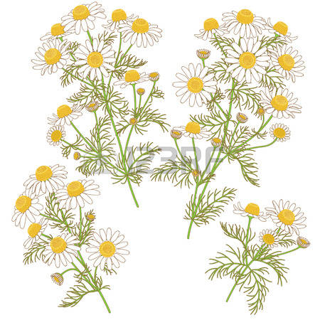 Chamomile clipart #8, Download drawings