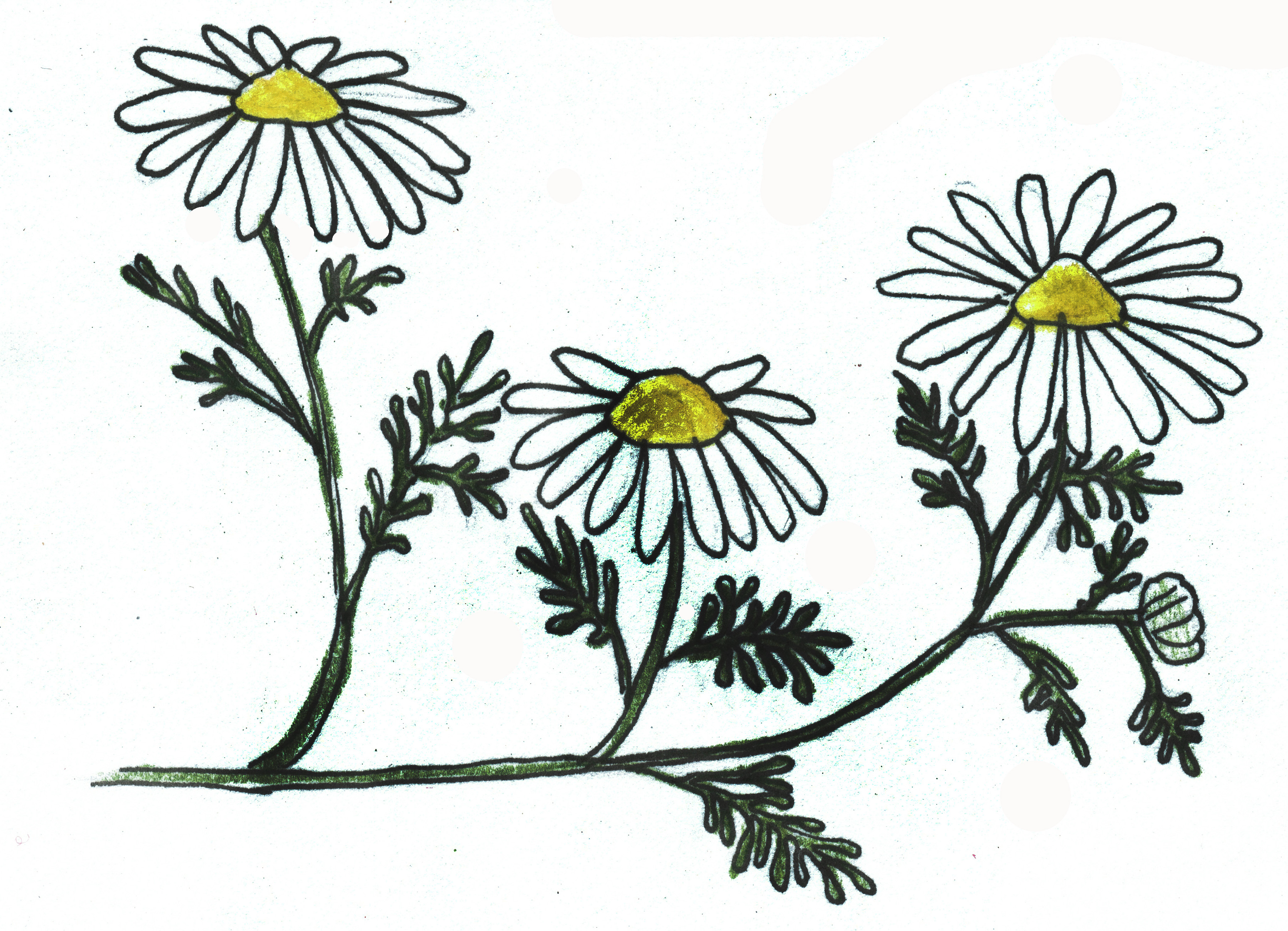 Chamomile coloring #3, Download drawings