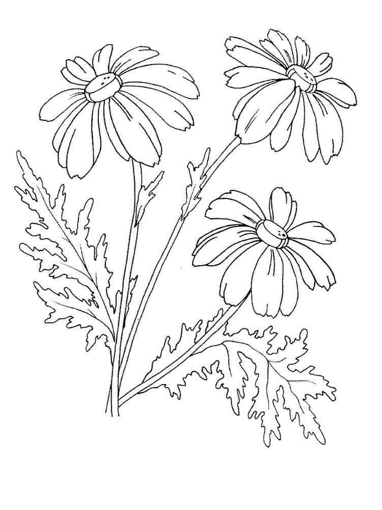 Chamomile coloring #10, Download drawings