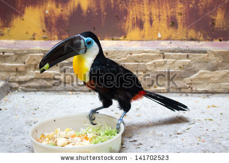 Channel-billed Toucan clipart #2, Download drawings