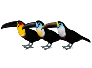 Channel-billed Toucan clipart #1, Download drawings