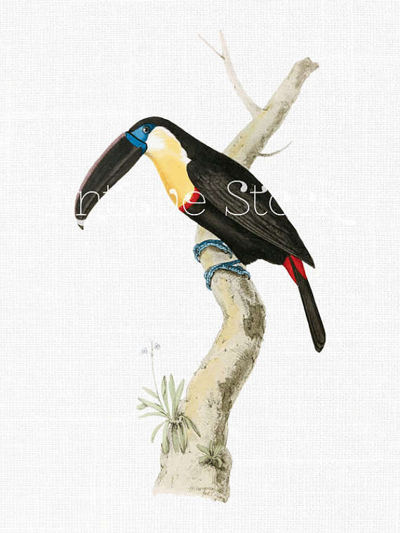 Channel-billed Toucan clipart #15, Download drawings