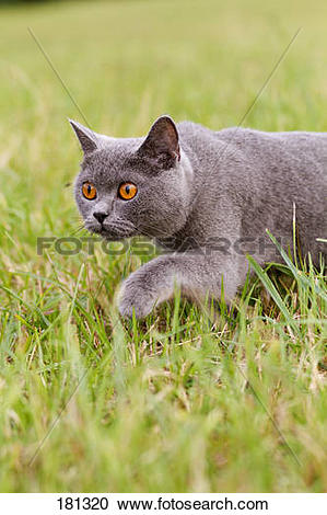 Chartreux clipart #9, Download drawings