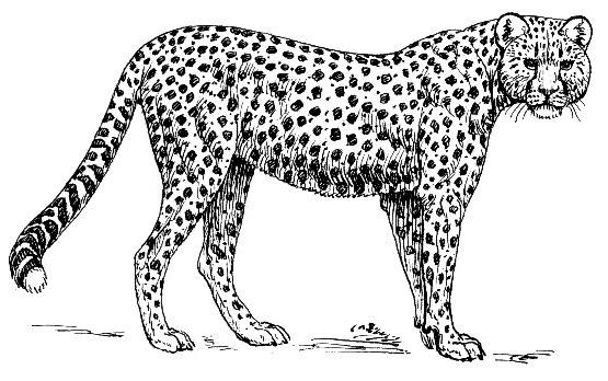 Cheetah clipart #5, Download drawings