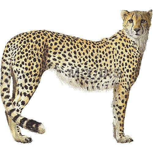 Cheetah clipart #11, Download drawings