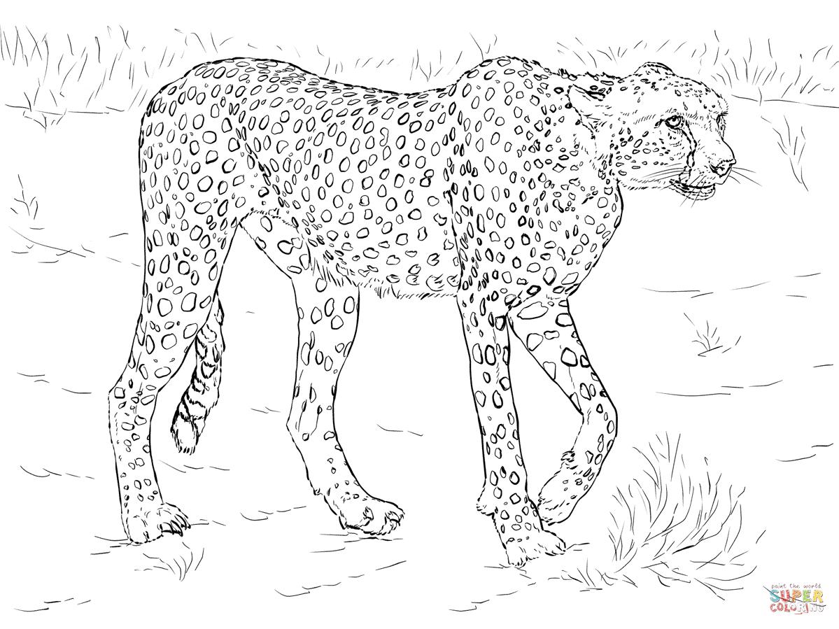 Cheetah coloring #1, Download drawings