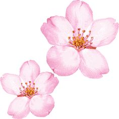 Sakura Blossom clipart #4, Download drawings