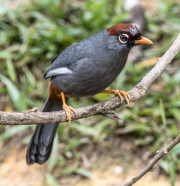 Chestnut-capped Laughingthrush svg #20, Download drawings