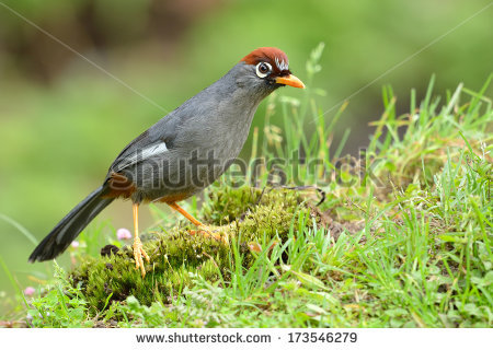 Chestnut-capped Laughingthrush clipart #3, Download drawings