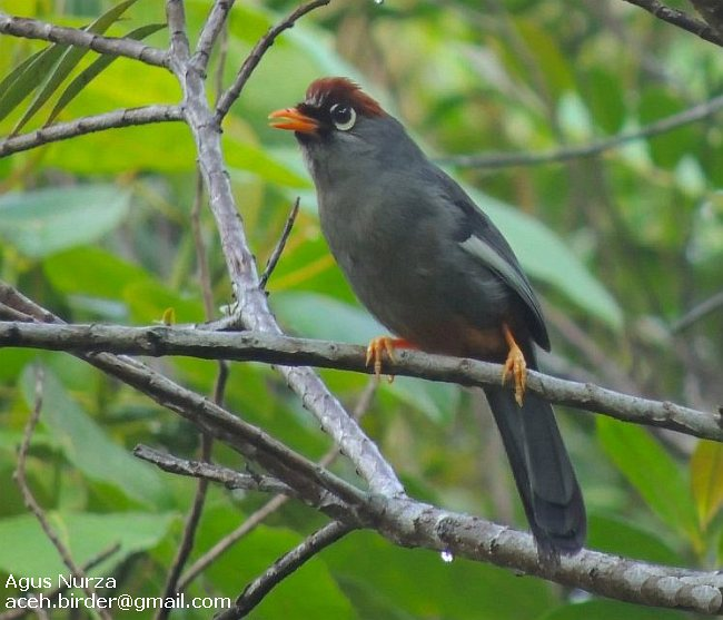 Chestnut-capped Laughingthrush svg #18, Download drawings