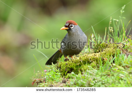 Chestnut-capped Laughingthrush clipart #13, Download drawings