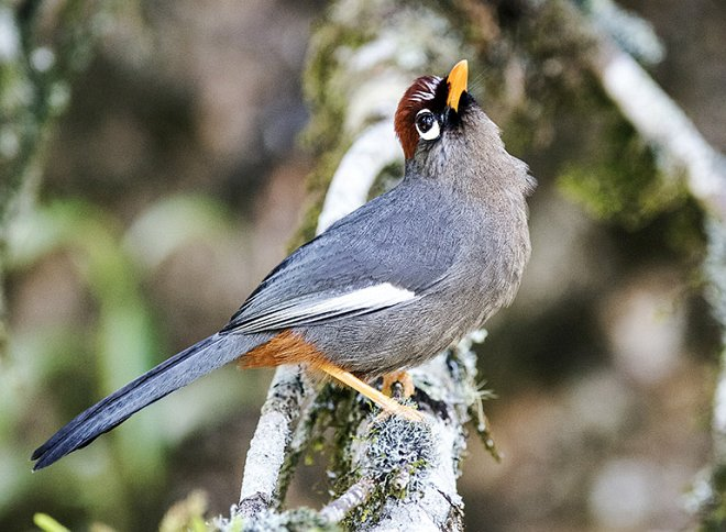 Chestnut-capped Laughingthrush clipart #5, Download drawings