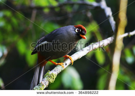 Chestnut-capped Laughingthrush clipart #10, Download drawings