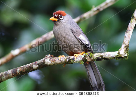Chestnut-capped Laughingthrush clipart #1, Download drawings