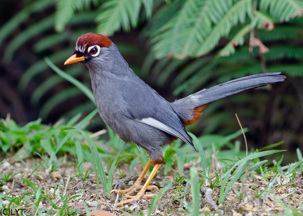 Chestnut-capped Laughingthrush svg #19, Download drawings