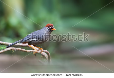 Chestnut-capped Laughingthrush clipart #16, Download drawings
