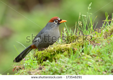 Chestnut-capped Laughingthrush clipart #18, Download drawings