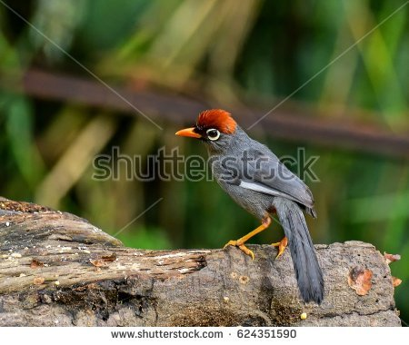 Chestnut-capped Laughingthrush clipart #15, Download drawings