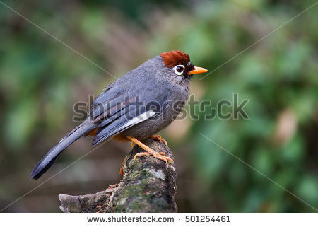 Chestnut-capped Laughingthrush coloring #2, Download drawings