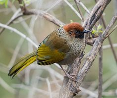 Chestnut-capped Laughingthrush coloring #6, Download drawings