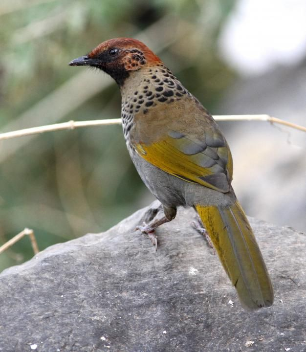 Chestnut-capped Laughingthrush coloring #8, Download drawings