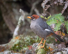 Chestnut-capped Laughingthrush svg #17, Download drawings