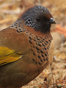 Chestnut-capped Laughingthrush svg #11, Download drawings