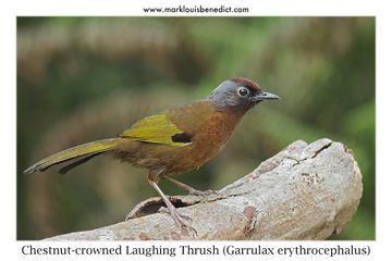 Chestnut-capped Laughingthrush svg #2, Download drawings