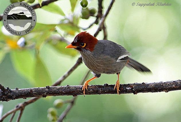 Chestnut-capped Laughingthrush svg #14, Download drawings