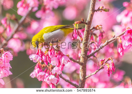 Chestnut-flaked White-eye clipart #12, Download drawings